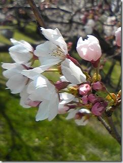 大高緑地桜1