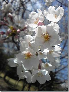 大高緑地桜4
